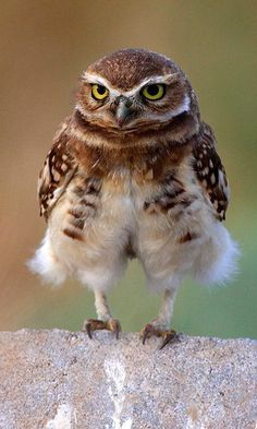 The bow legged little owl cared not one whit that his knees stuck out when he would sit.  LW
