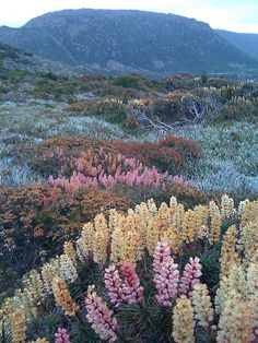 Richea scoparia, Mount Field National Park, Ireland-Nature takes best in show! My kind of garden. Parc National, National Parks, Beautiful World, Beautiful Places, Beautiful Scenery, Amazing Places, Beautiful Pictures, Nature Aesthetic, Flower Aesthetic