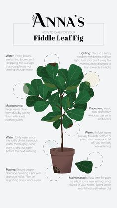 Featuring Fiddle Leaf Fig: The Instagram Trending Houseplant - Anna's | Garden, Home & Wellness Indoor Garden, Garden Plants, Indoor Plants, Fig Plant Indoor, Indoor Flowers, Fiddle Leaf Fig Tree, Inside Plants, House Plant Care, Ficus