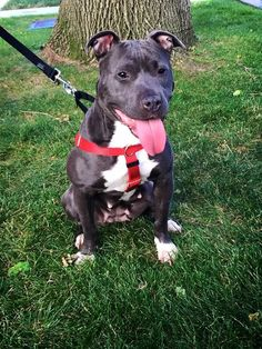Meet Roxy NKA Baby Bear, an adoptable Pit Bull Terrier looking for a forever home. If you're looking for a new pet to adopt or want information on how to get involved with adoptable pets, Petfinder.com is a great resource.