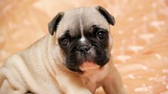 mops dog baby picture