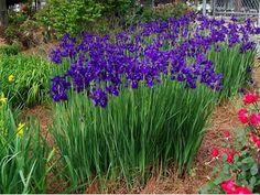 Iris siberica 'Caesars Brother' - Caesars Brother Siberian Iris ...