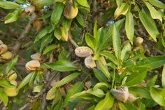 How to Prune an Almond Tree
