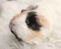 The Guinea Pig Daily: Nami
