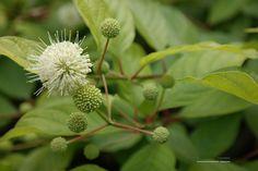 Cephalanthus – kogelbloem
