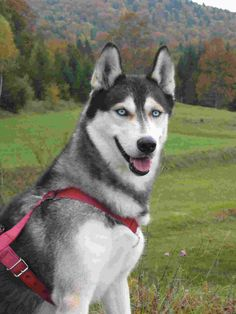 Image detail for -If you have decided to seek Husky puppies for sale you may wish to ...