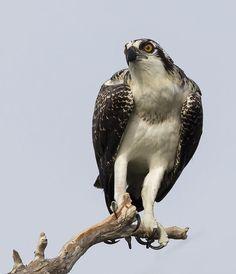 Osprey by Elizabeth  E. on 500px