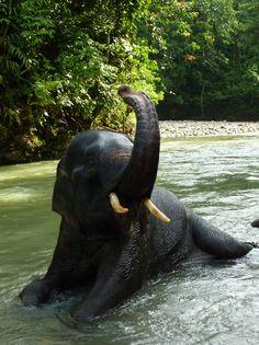 Sumatran Elephants <3 Bukit Lawang, Gunung Leuser, N.Sumatra