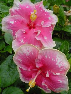 Hibiscus 'Buckey Colors'