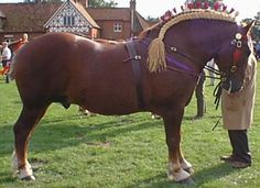 "Suffolk Punch - the oldest existing pure breed of draught horse to have originated in England. Noticeable differences from other breeds are the lack of feathering on the heels and the color which is described as ""chesnut"" - without the t. Listed as ""critical"" by the Rare Breeds Survival Trust."