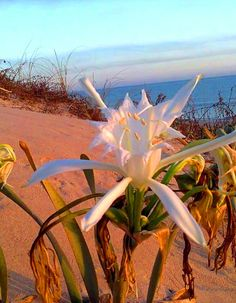 beach el magtaa...algéria..! Types of wild flowers that grow on the shore of the Mediterranean Sea in the summer....!