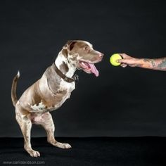 London is a very special pitbull that suffered from such horrific abuse his front legs were so damaged that they had to be amputated. My four legged friends amaze me <3