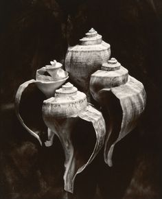 Whelks from 'Lost Objects Portfolio' by Olivia Parker.