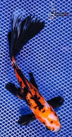 Goldfish - Shubunkin Eye Candy (: