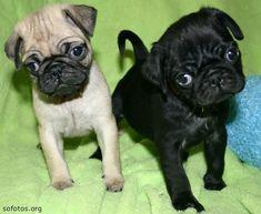 Filhotes de cachorro Pug