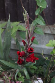 Muddling Through: How Does Your Garden Grow? // Mabel and the Red Gladiolus