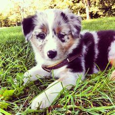Aussie puppy :)