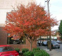 "Autumn Brilliance Serviceberry Fall Color. ""They respond well to corrective pruning and can develop into outstanding specimens of form and character."" Other good tips. Service Berry Tree, Trees And Shrubs, Flowering Trees, Trees To Plant, Brown Nursery, Garden Trees, Garden Shrubs, Colorado Landscaping, Autumn"
