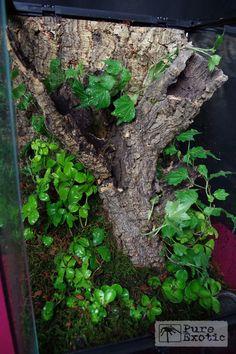 Terrarium Poecilotheria rufilata