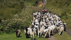 Bringing in the flock, photo taken by Rob Hagyard