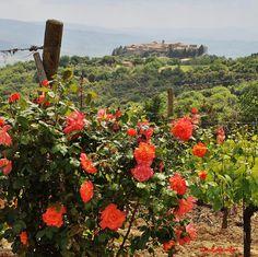 Montalcino 0 Roses in the vineyards #montalcino, #tuscany