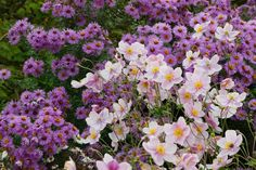 Garden ideas, landscaping ideas, Plant Combinations, Flowerbeds Ideas, Summer Borders, Fall Borders, Aster novae angliae, New England Aster, Japanese Anemones, Anemone Elegans,