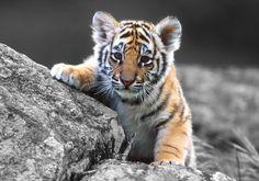 tigre de bengala - Buscar con Google ternura