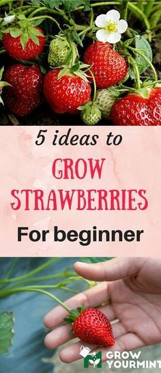 5 ideas to grow strawberries for beginners #containergardeningforbeginners