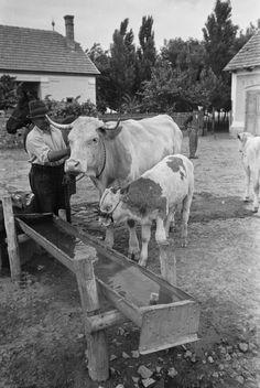 cow and calf Farm Boys, Farm Photo, Old Photographs, Vintage Farm, Old Barns, The Good Old Days, Old Pictures, Farm Life, Historical Photos