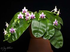 Phalaenopsis violacea  'Jungle Queen' CCM/AOS  © 2012 Greg Allikas - www.orchidworks.com