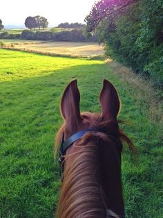 Horseback rider's view between the ears of a chestnut in a green grassy field with woods to the side, a hay field, and trees ahead