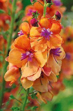 #Molène 'Clémentine' est une #plante très colorée qui reste animée pendant plusieurs mois en supprimant régulièrement les #fleurs fanées.