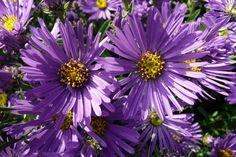 aster-amellus-violet-queen-flower1.jpg 800×533 pixel
