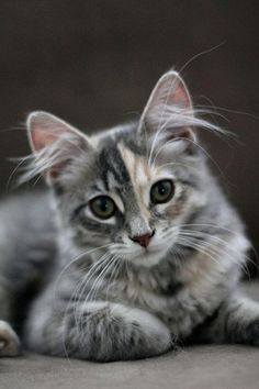 I love his/her ear tufts and colouring...beautiful kitty!!