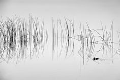 2016 National Geographic Nature Photographer of the Year | National Geographic.  I was out taking photos of the early morning fog at Dragon Lake when the symmetrical reflections of these reeds really caught my eye...then, this duck swam through and totally made the shot!  Photo and caption by Shane Kalyn