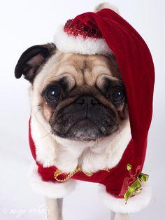 merry Christmas to all pugs Amor Pug, Christmas Puppy, Christmas Animals, Merry Christmas, Funny Christmas, Baby Animals, Cute Animals, Pekinese, Pugs And Kisses