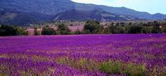 Walk through Fields of Lavender in Provence