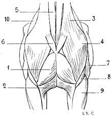Image result for muscles of horse head