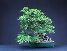 Pyracantha/Firethorn Bonsai