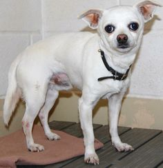 Lovables: Chihuahua Chihuahua • Adult • Male • Small San Angelo Animal Shelter San Angelo, TX