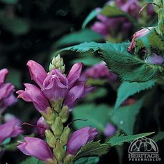 Plant Profile for Chelone obliqua - Pink Turtlehead Perennial