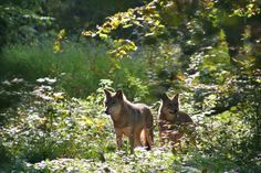 Wolves in the Białowieża Forest, Poland
