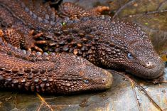 The Borneo Earless Monitor Lizard - Lanthanotus borneensis is endemic to the island of Borneo in South East Asia. They are typically…