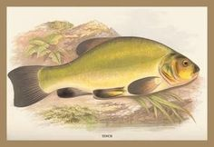 Tench 12x18 Giclee on canvas