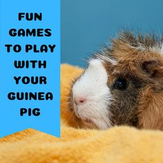 Guinea pigs are social animals who thrive in the company of both other cavies and their human keepers. Here are three fun activities you can do with your guinea pig that will keep you both entertained during playtime. Diy Guinea Pig Toys, Pet Guinea Pigs, Guinea Pig Care, Caring For Guinea Pigs, Guinea Pig Food List, Pig Games, Games To Play, Guinnea Pig, Guinea Pig Accessories