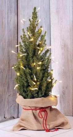 picea glauca conica zuckerhutfichte in weihnachtlicher. Black Bedroom Furniture Sets. Home Design Ideas