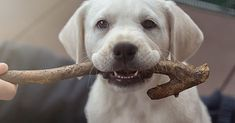 Puppy Teething 101 #puppy #puppies #puppyteething #teething #dogs #dogtraining #puppytraining #petcare