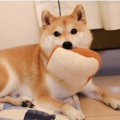 shibe boi go nom Super Cute Animals, Cute Funny Animals, Cute Dogs, Chien Akita Inu, Animals And Pets, Baby Animals, Shiba Puppy, Shiba Inu Puppies, Dog Pictures