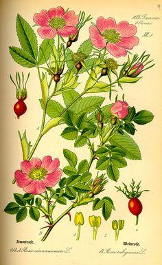 Rosa mosqueta, el aceite prodigioso. Supernutritivo y regenerante, ideal para el tratamiento de cicatrices y estrías.