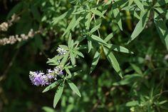 Commont Chaste Tree (Vitex agnus-castus).